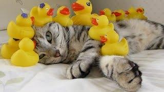 chat et canard vibrant